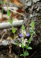 Image of <i>Scutellaria parvula</i> Michx.