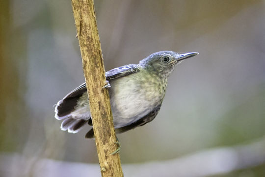Image of Black-chined antbird