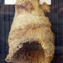 Image of <i>Aulophyllum fungites</i>