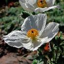 Image of Mojave pricklypoppy