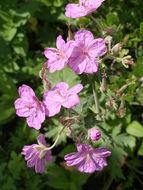 Image of sticky purple geranium