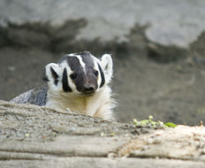 Image of American Badger