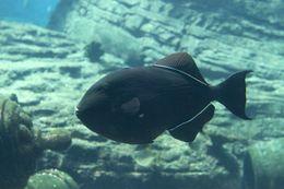 Image of Black Triggerfish