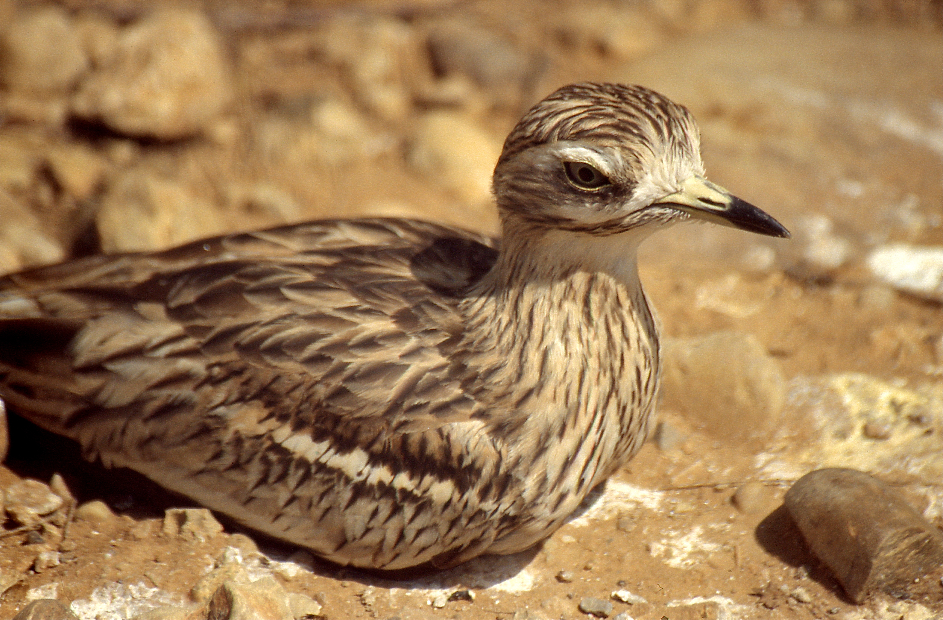 Image of Eurasian thick-knee