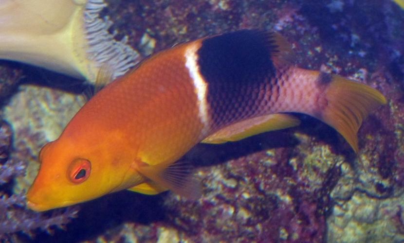 Image of Black-banded hogfish