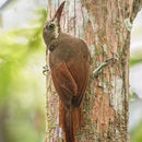 Image of Red-billed Woodcreeper