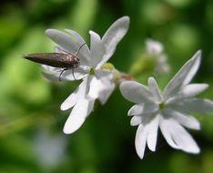 Image of <i>Greya politella</i>