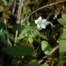 Image of purging flax, fairy flax