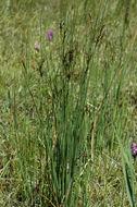 Image of European meadow rush