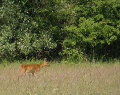 Image of European Roe Deer