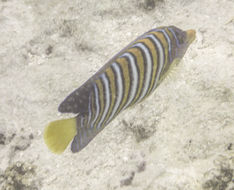Image of Royal angelfish