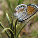 Image of Western pygmy blue