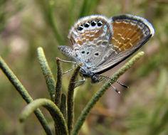 Image of Western pygmy blue