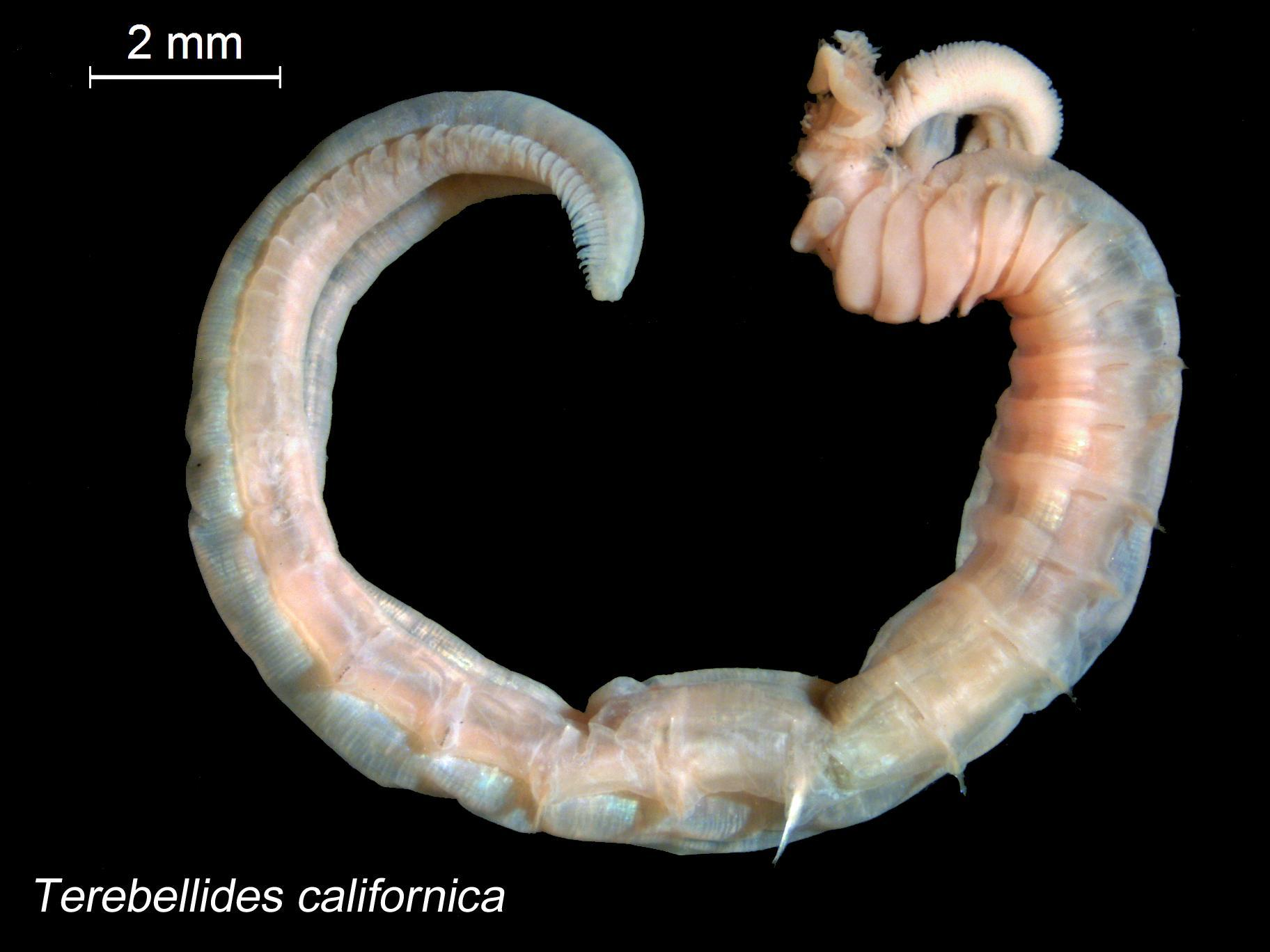 Image of <i>Terebellides californica</i> Williams 1984