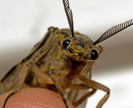 Image of Spring Fishfly