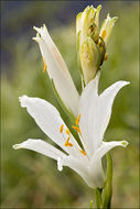 Image of St. Bruno's Lily