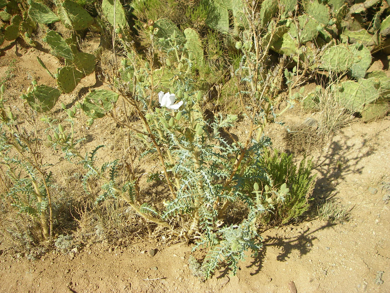 Image of southwestern pricklypoppy