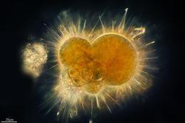 Image of <i>Globigerina bulloides</i> d'Orbigny 1826
