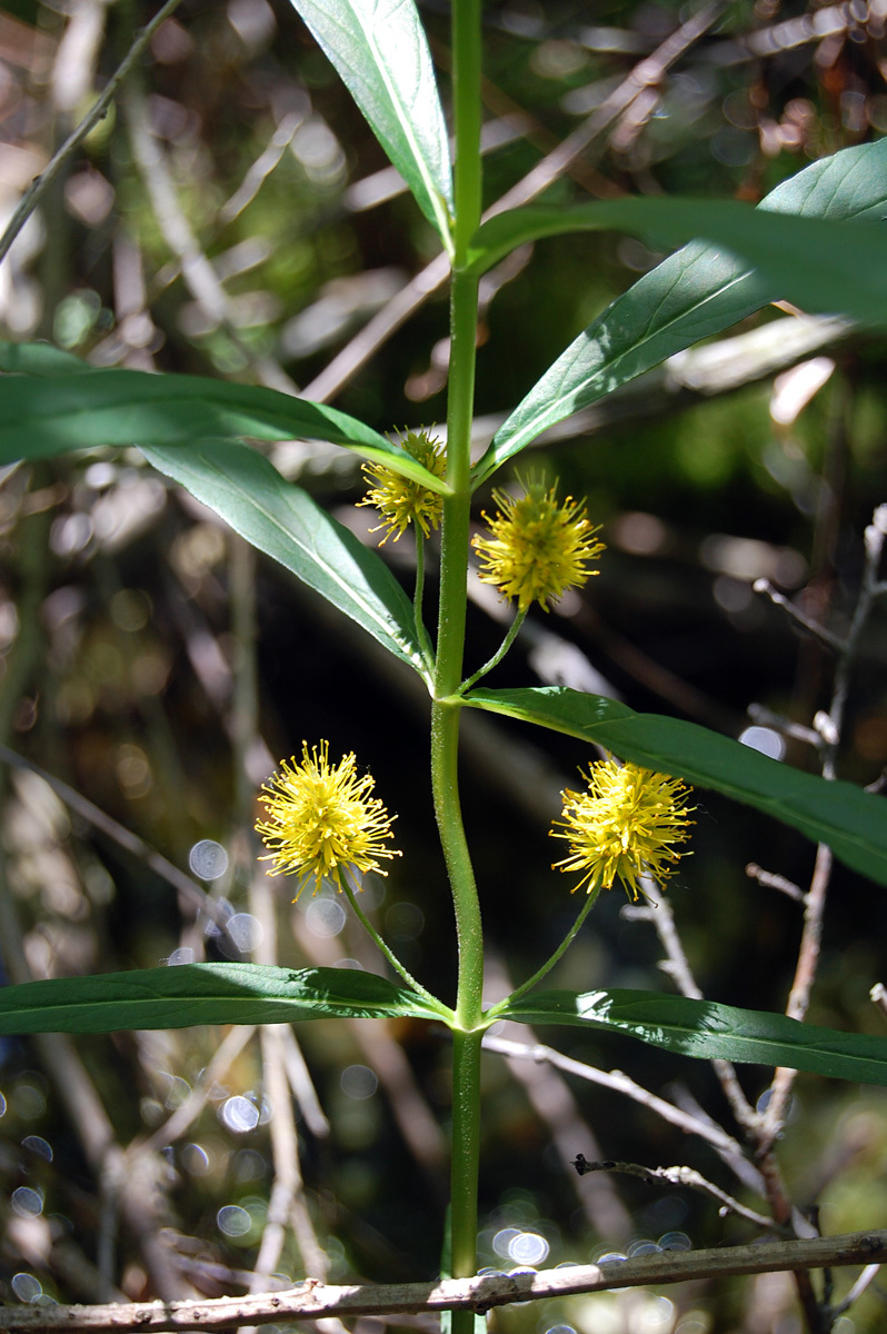 Image of Tufted Loosestrife