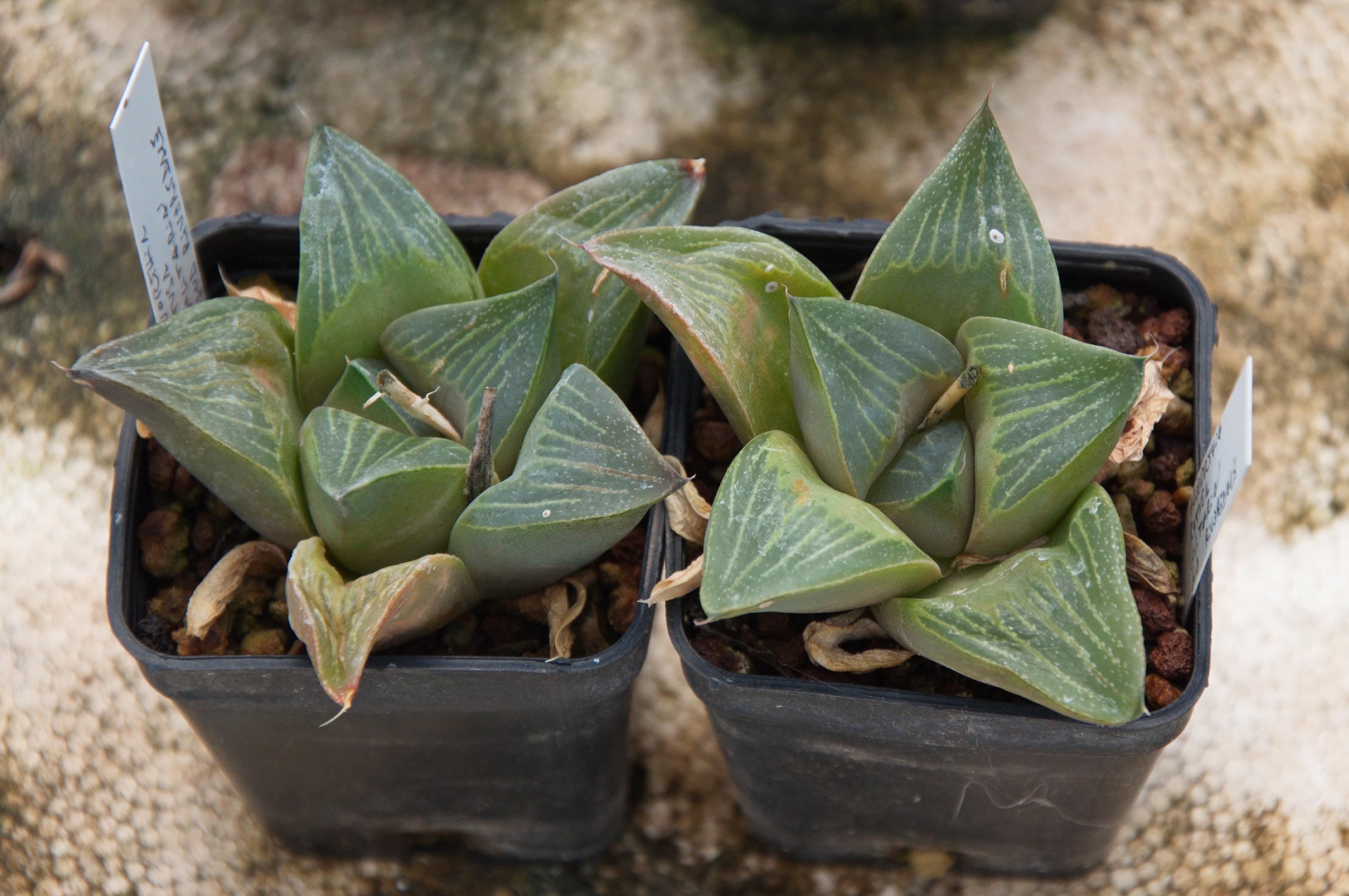 Image of <i>Haworthia retusa</i> var. <i>solitaria</i>