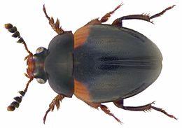 Image of <i>Anisotoma humeralis</i>