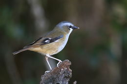 Image of Gray-headed Robin
