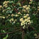 Image of <i>Baccharis pilularis</i> ssp. <i>consanguinea</i> (DC.) C. B. Wolf