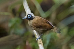 Image of Hairy-crested Antbird