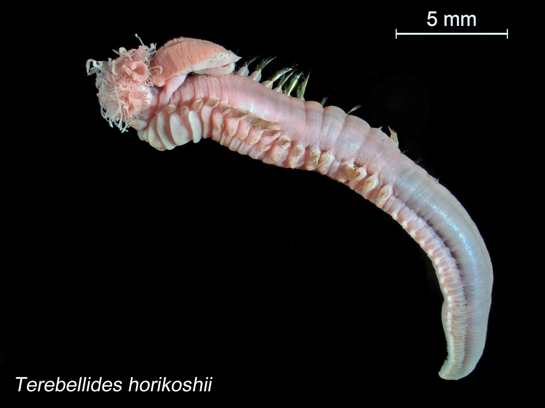 Image of <i>Terebellides horikoshii</i> Imajima & Williams 1985