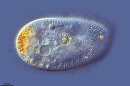 Image of <i>Paramecium putrinum</i>
