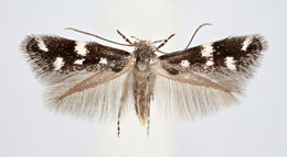 Image of <i>Elachista saarelai</i> Kaila & Sippola 2010