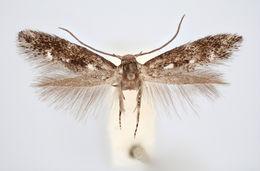 Image of <i>Elachista kebneella</i> Traugott-Olsen