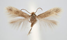 Image of <i>Stigmella benanderella</i>