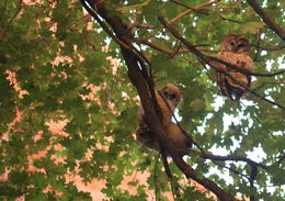 Image of Mexican Spotted Owl