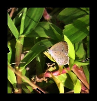 Image of pale grass blue
