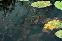 Image of Long-stalked Pondweed