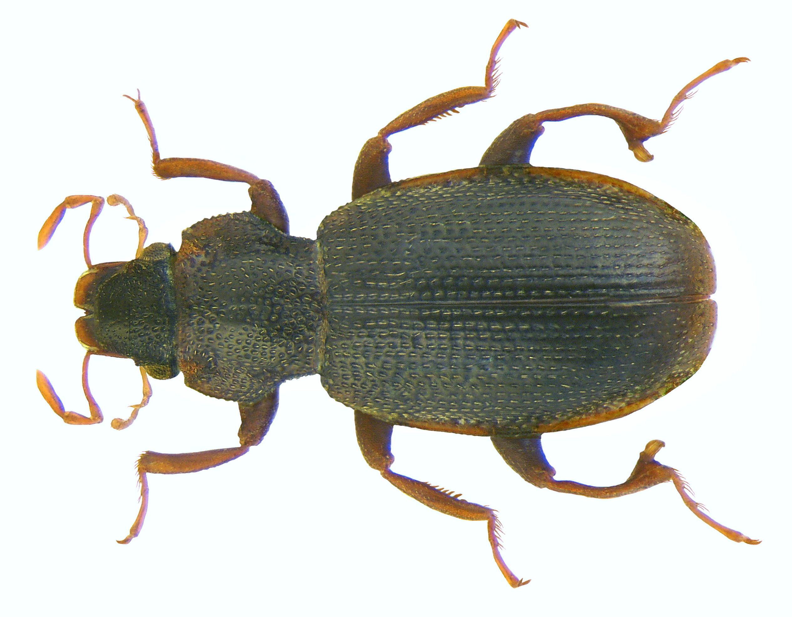 Image of <i>Hydraena arunensis</i>