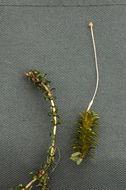 Image of western waterweed