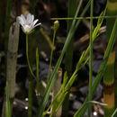 Image of meadow starwort