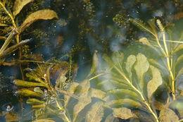 Image of Shining Pondweed