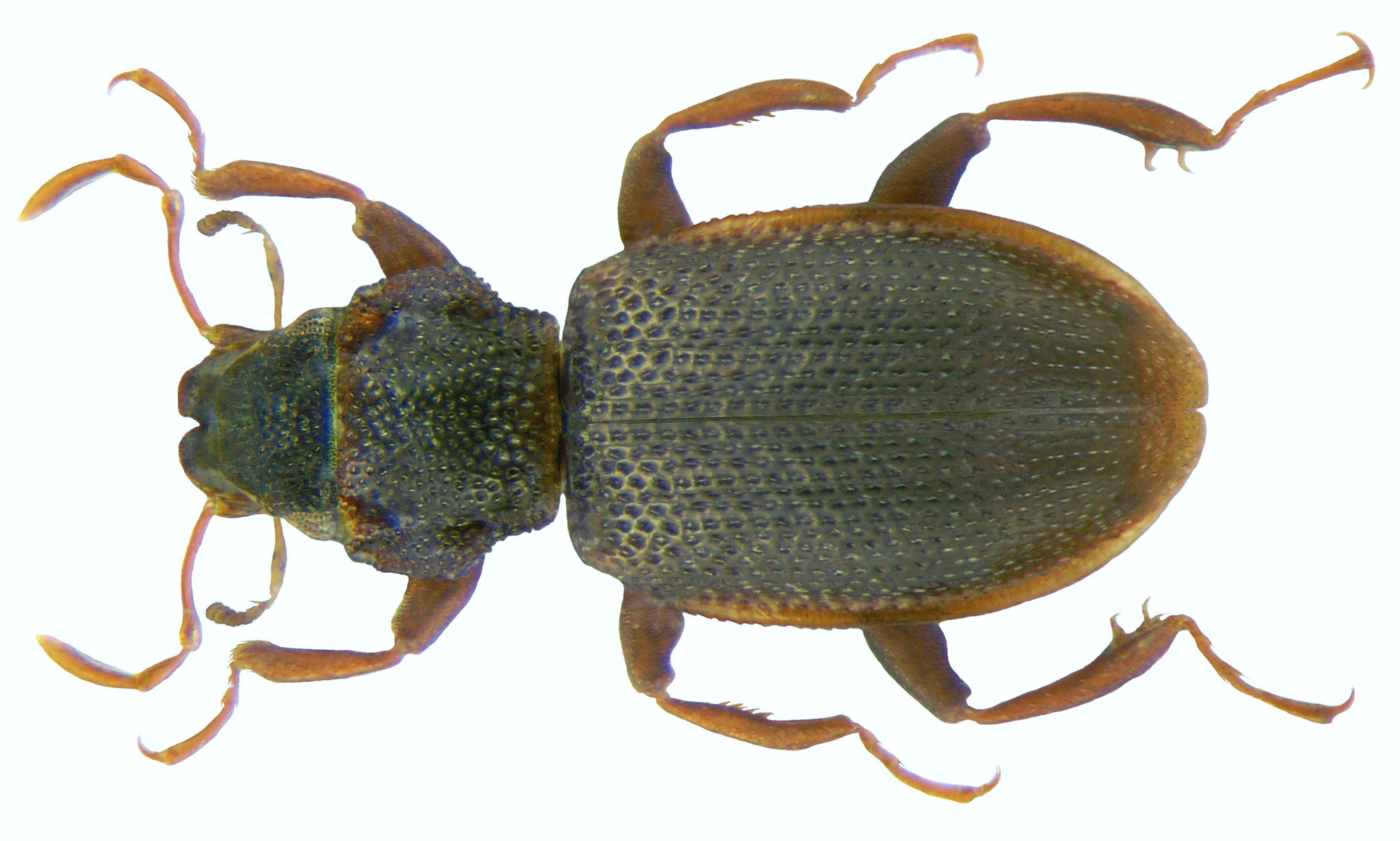 Image of <i>Hydraena bihamata</i>