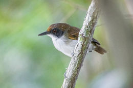 Image of Ash-breasted Antbird