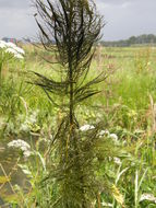Image of Whorled Water-milfoil