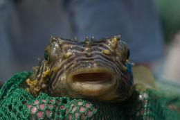Image of Striped Burrfish