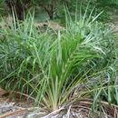 Image of <i>Allagoptera arenaria</i> (Gomes) Kuntze