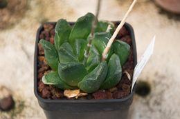 Image of <i>Haworthia mantelli</i>