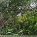 Image of peepul tree