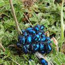 Image of blue metallic flea beetle