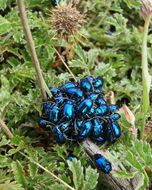 Image of blue metallic flea beetle