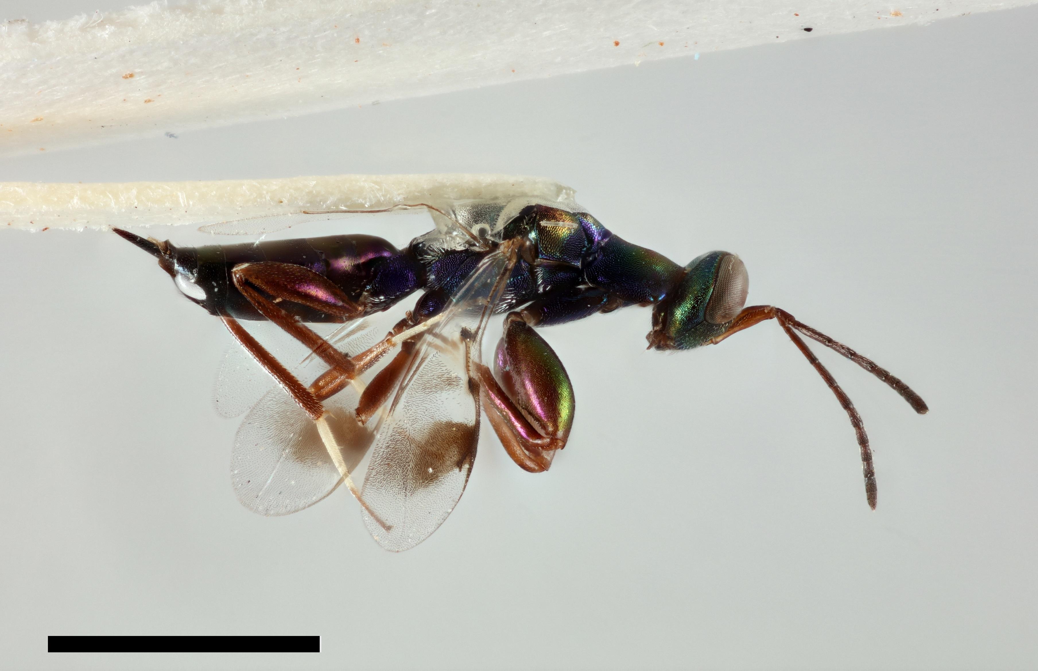 Image of <i>Heydenia pretiosa</i> Forster 1856